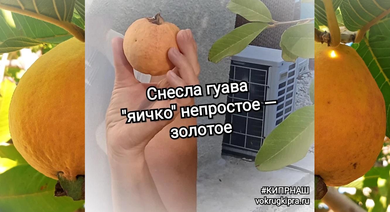 Кипр Гуава Фрукты
